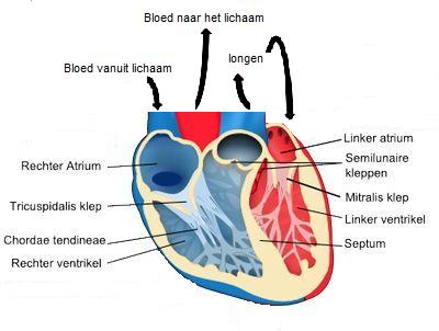 Verwonderlijk Anatomie hart - DGO ZZ-46
